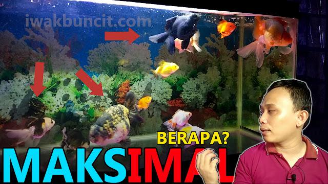 Berapa Jumlah IDEAL Memelihara Ikan Mas Koki dalam 1 Aquarium? 🤔
