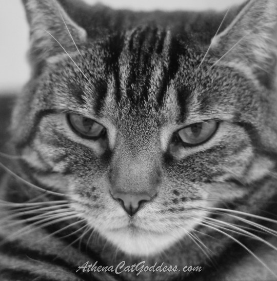 black and white photo of tabby cat