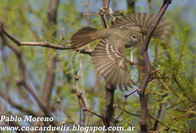 """alt=""""suiriri pico corto,sublegatus modestus,aves de Mendoza"""""""