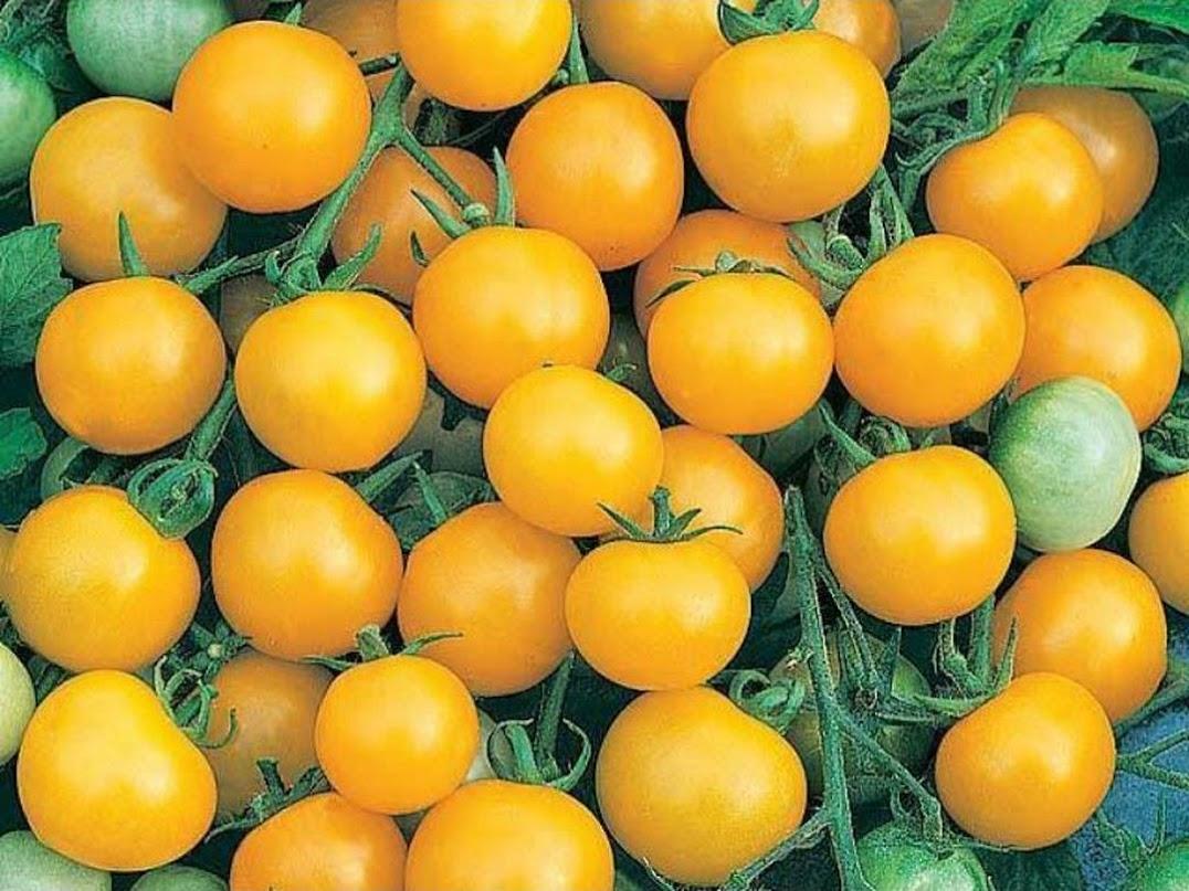 Amefurashi 50 Biji Benih Yellow Cherry Tomato Tomat Ceri Kuning Metro