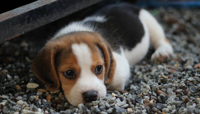 Image: Tri-color Beagle Puppy by Montree Ladlongmuang on Pixaby