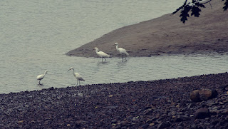 four snowy egrets fishing