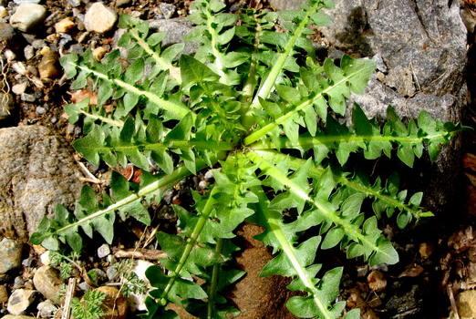 Δείτε Τις Θεραπευτικές Ιδιότητες Της Ρίζας Αυτού Του Φυτού