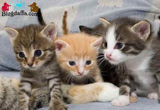 Kucing Domestik atau kucing kampung