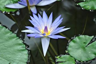 flor-da-Nymphaea-caerulea-o-lotus-azul-sagrado-do-Egito
