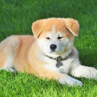 Origen perro Akita Inu