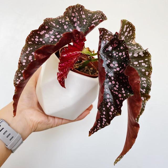 Jenis Tanaman Hias Begonia