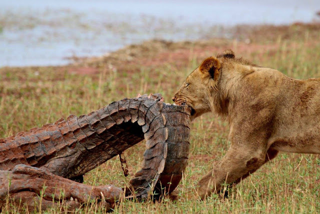 Crocodile hunting lions in Matusadona National Park by Lake Kariba, Zimbabwe