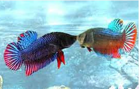 Jenis Ikan Cupang  Sedang Bertarung