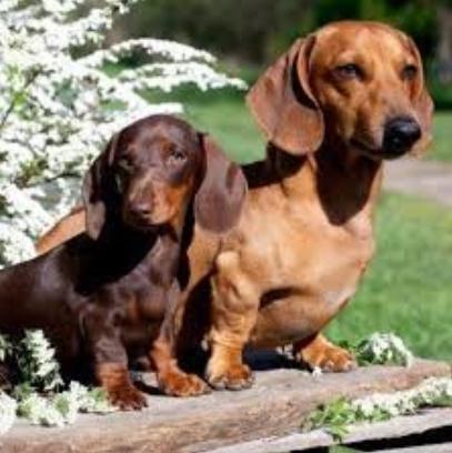 Top 6 raças mais perigosas de cachorro pequeno