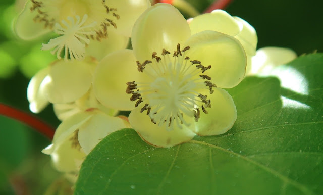 Flor de kiwi
