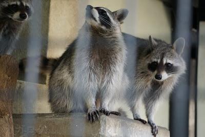 東武動物公園のアライグマ