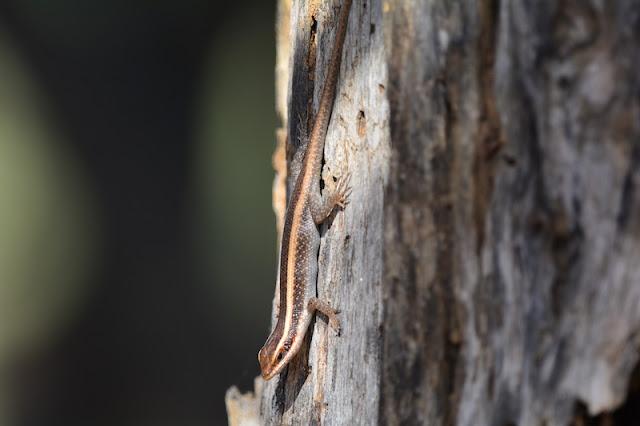 Trachylepis striata