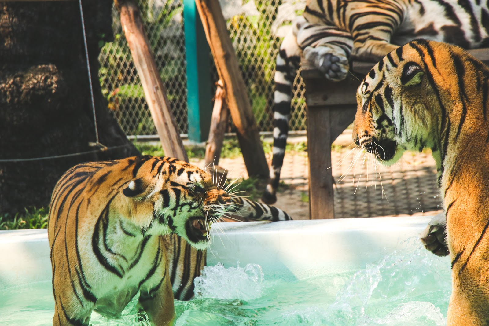 tiger-standing-in-above-ground-pool-images