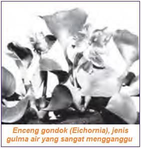 Enceng Gondok sebagai indikator Pencemaran Lingkungan