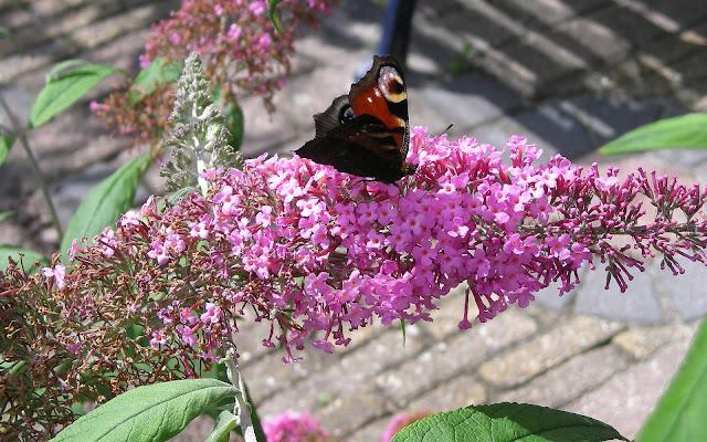 Vlinder achtergrond met een vlinder op roze vlinderstruik
