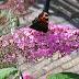 Vlinder op roze vlinderstruik