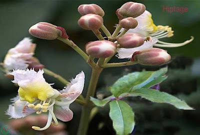 hiptage flower, hiptage