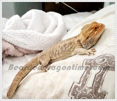 Sick bearded dragon