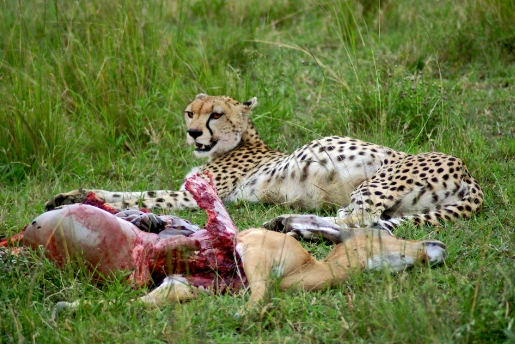 Wildlife, Mammals Animals, Cheetah,