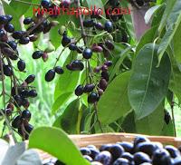 Blackberry leaves for diabetes
