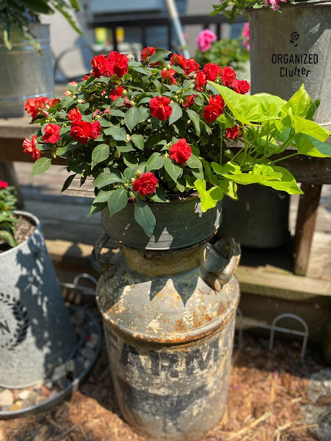 Photo of red impatiens & sweet potato vines planted in a funnel in a milk can.