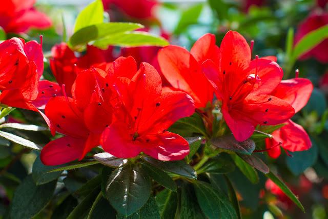 اجمل وردة  الورود الحمراء