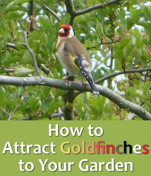 Goldfinch bird in tree on branch: How to attract the goldfinches into your garden