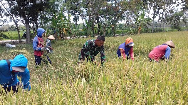 Babinsa Ceper Bantu Petani Dalam Pendampingan Panen Padi