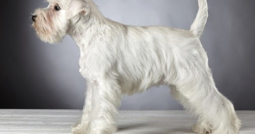 15 Of The Cutest Schnauzer Dog Haircuts