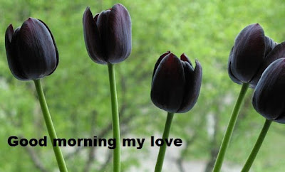 Romantic good morning images with flowers - Tulip flower wallpapers