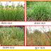 rajasthan gk Grasses of Rajasthan - राजस्थान में पशुचारे के लिए उपयोगी घासें