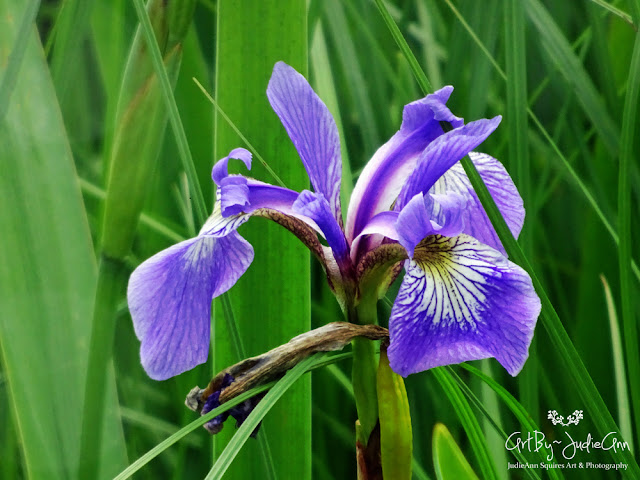 Blue Flag Iris 7 Photos + Video