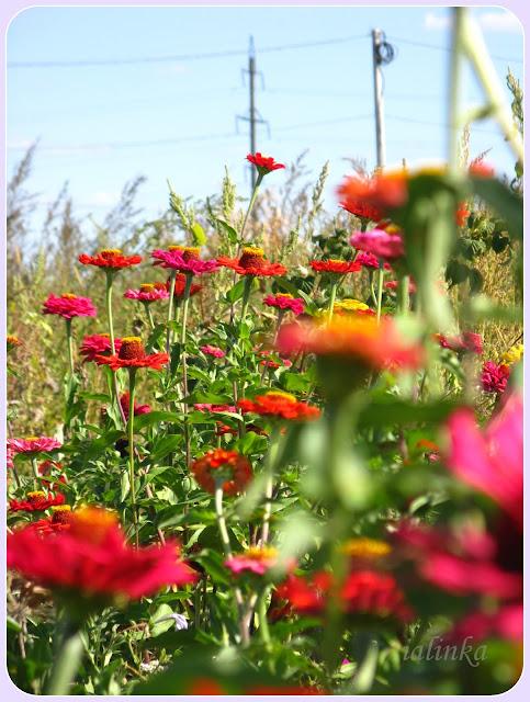 садовые дачные цветы неприхотливые