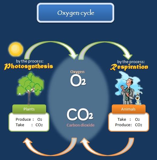 Educative diagrams: Oxygen Cycle Diagram
