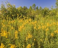 An allergy sufferers worst fear -- a field of allergic weeds