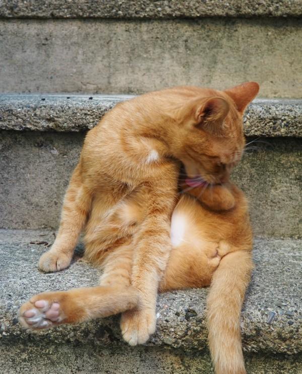 Manarola ginger cats