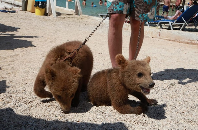 Three puppy bears mistreated in Albania sent in Bioparco di Roma