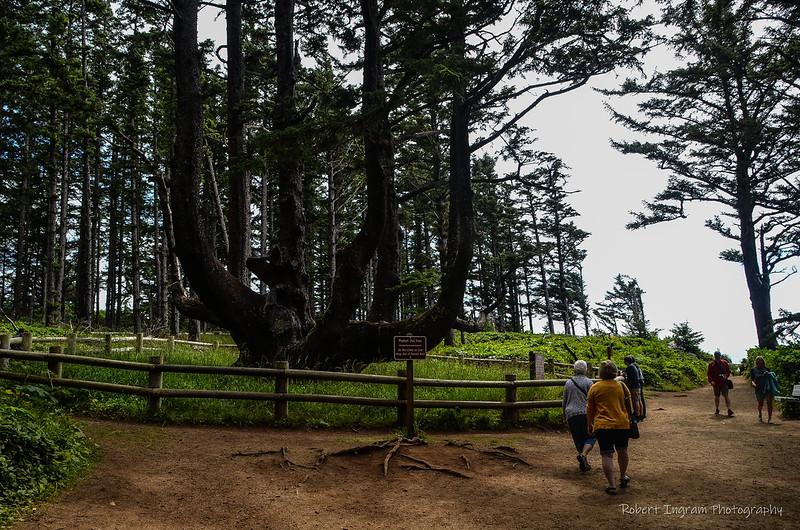 oldest tree in oregon
