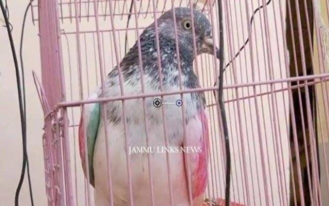 Chú chim bồ câu bị giam giữ vì tội gián điệp, chủ chim đang đòi quyền 'tự do' cho nó