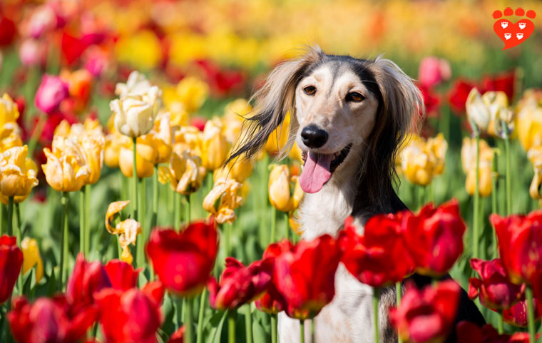 A happy Saluki in a field of tulips