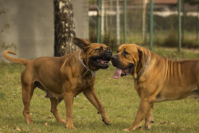 world's deadliest dog breeds