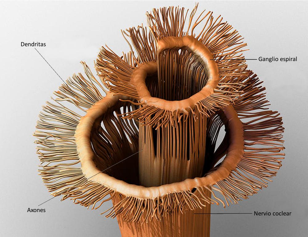 Figura 10. Ilustración del ganglio espiral.