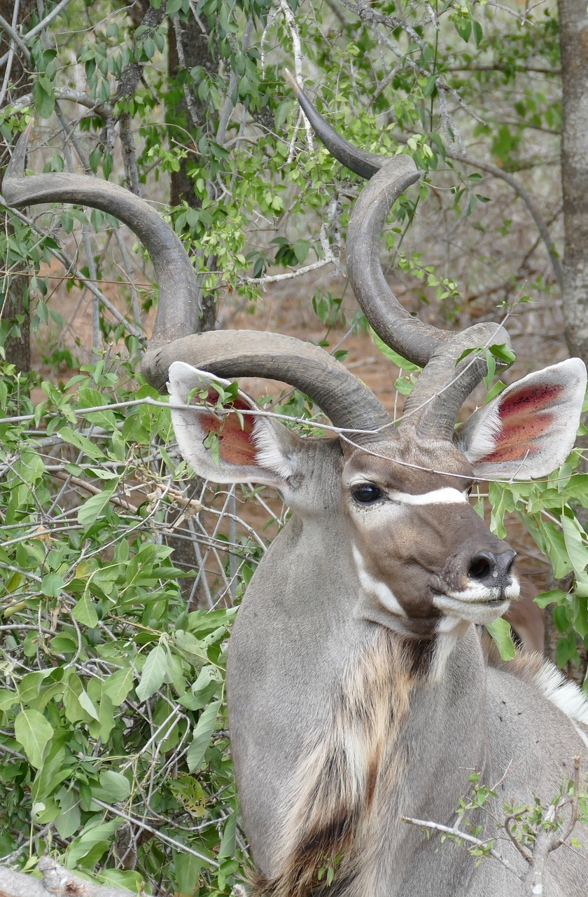 A kudu foraging for food.