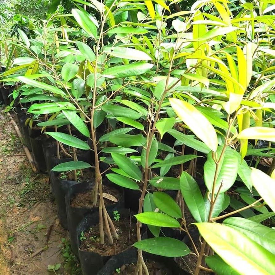 COD bibit durian musangking kaki 3 hasil okulasi Padang