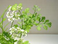 コリアンダーの花と変化した葉