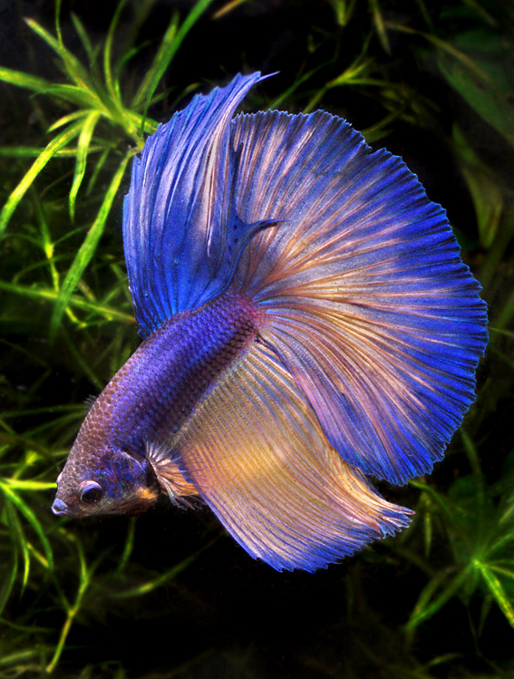 Cute live wallpaper betta fish beauty 1 for Betta fish online