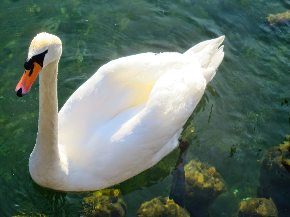 Swan on Lake Zell, Austria