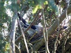 Eichelhäher auf dem Nest...