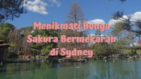 Menikmati Bunga Sakura Bermerkaran di Sydney